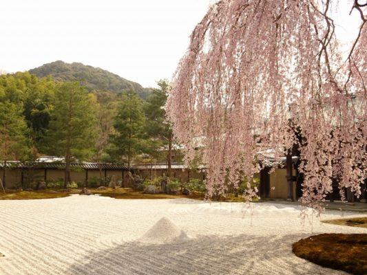 高台寺 しだれ桜 方丈前庭