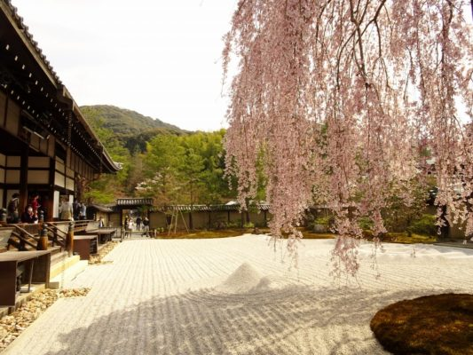 高台寺 しだれ桜 方丈前庭 3