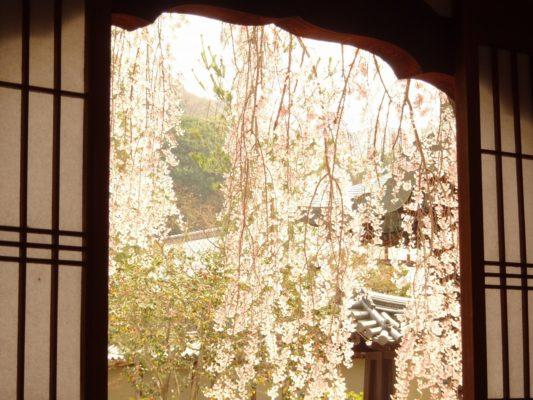窓から見る高台寺のしだれ桜