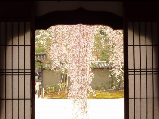 窓から見る高台寺のしだれ桜 2