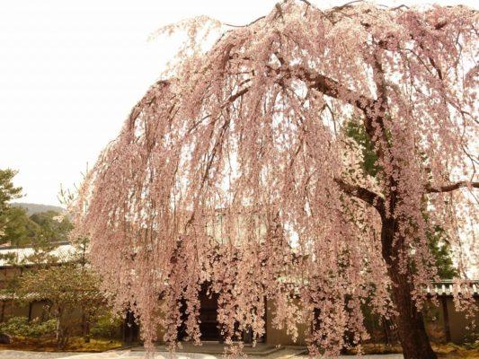 京都高台寺のしだれ桜