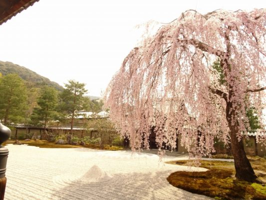東山高台寺のしだれ桜