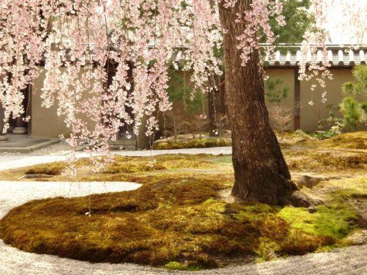 高台寺のしだれ桜と苔