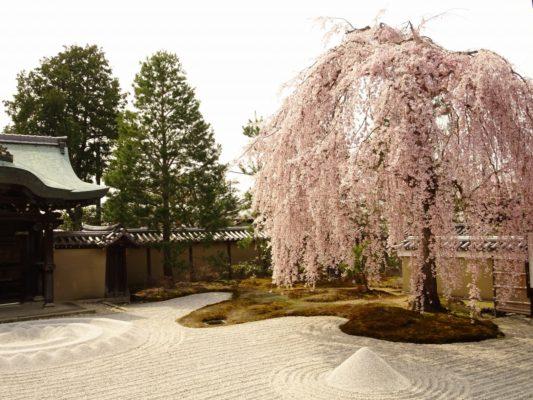 初音お勧め 高台寺のしだれ桜
