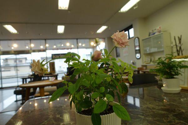 こだわり桐箪笥の社長ブログ ミニバラに続きカランコエも咲いてきました。