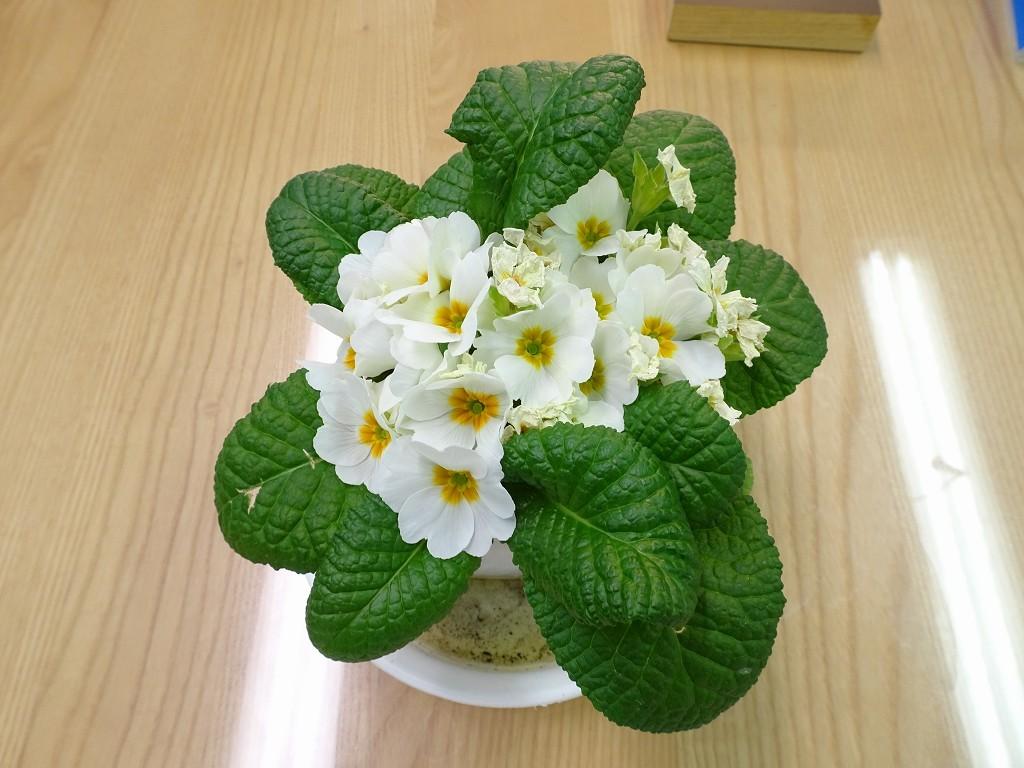 桐たんす(kiri tansu)の社長ブログ 100円でしたがどんどん咲いてきます。?