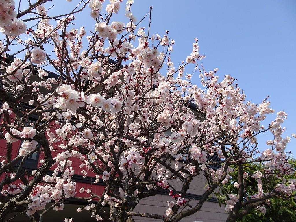 こだわりの桐たんすの社長ブログ 近くのお家の梅が咲いてきました。