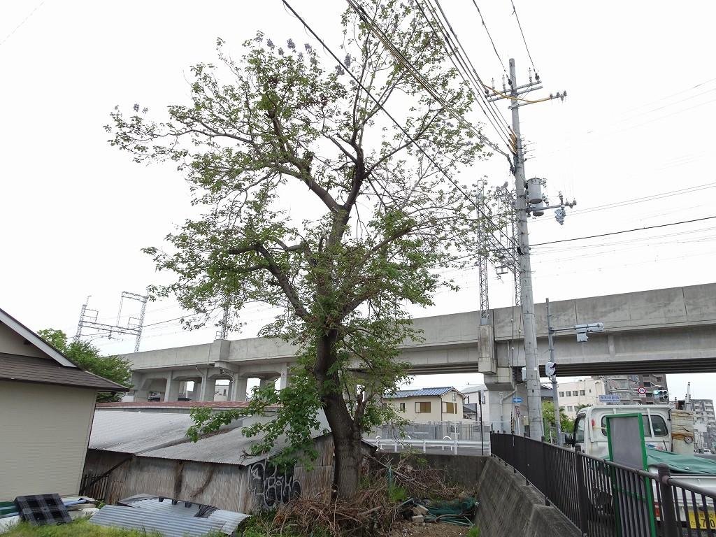 こだわりの日本の桐箪笥の社長ブログ 岸和田市の上町(南海本線横)にあった桐の木が伐採されて無くなってしまいました。とても残念です。