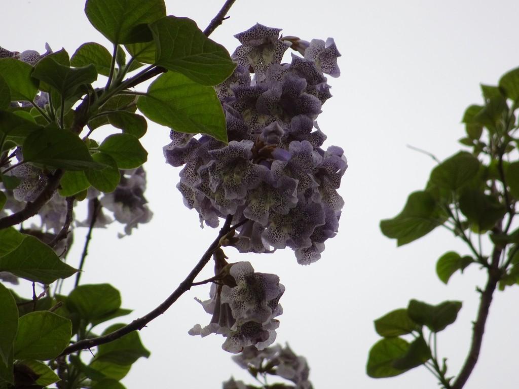 岸和田市の桐の木
