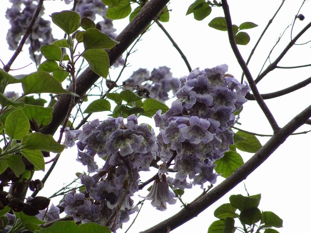 岸和田市の桐の木のお花