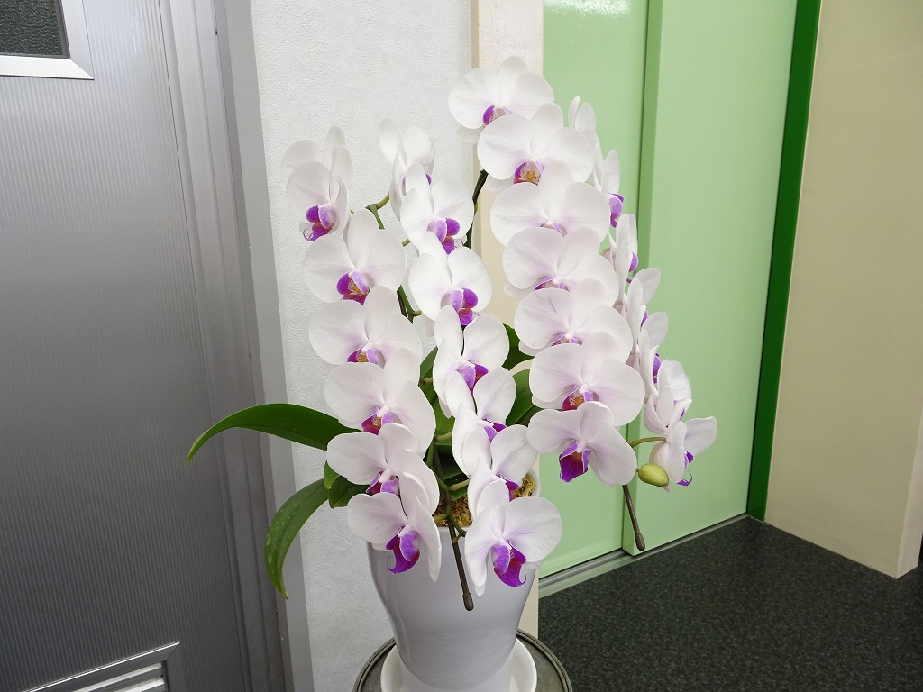 こだわりの桐たんすの社長ブログ ショールームに胡蝶蘭のお花を飾りました。