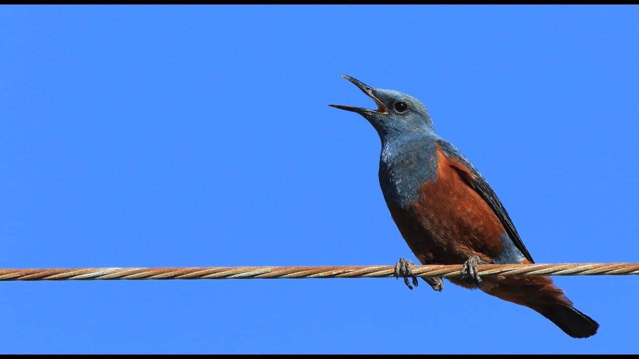 こだわりの桐箪笥屋の社長ブログ この鳥の名前がわかりました。「イソヒヨドリ」です。